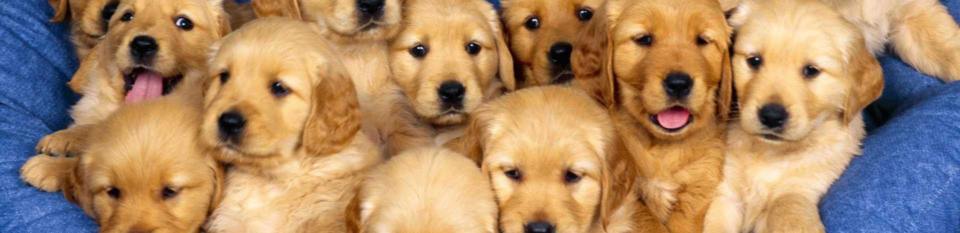 Finals week dog days no more with therapy pups
